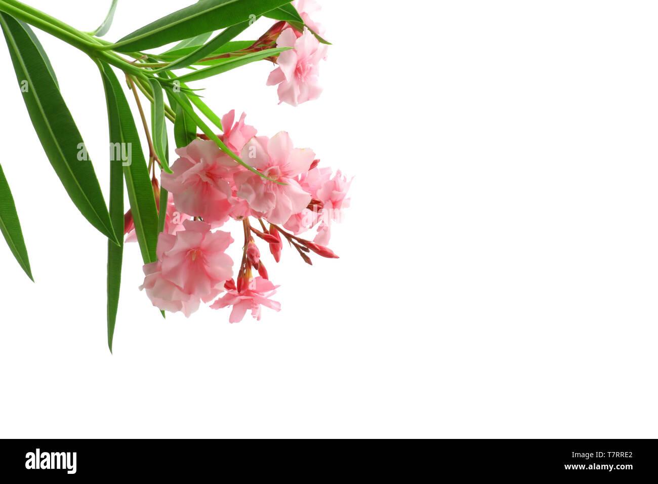Oleandro Rosa Fiori Foglie Verde isolato sfondo bianco 255 Immagini Stock