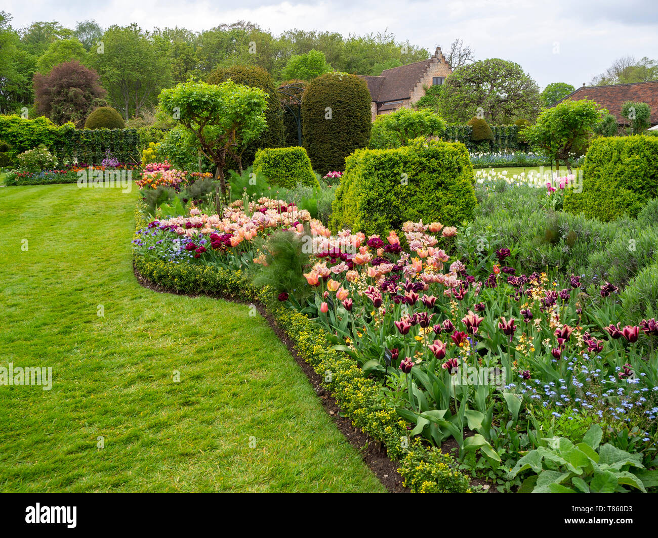Chenies Manor Gardens ai primi di maggio con la Belle Epoque massa tulipani piantati con Antraciet tulipani e fogliame;durante la Tulip Festival. Foto Stock