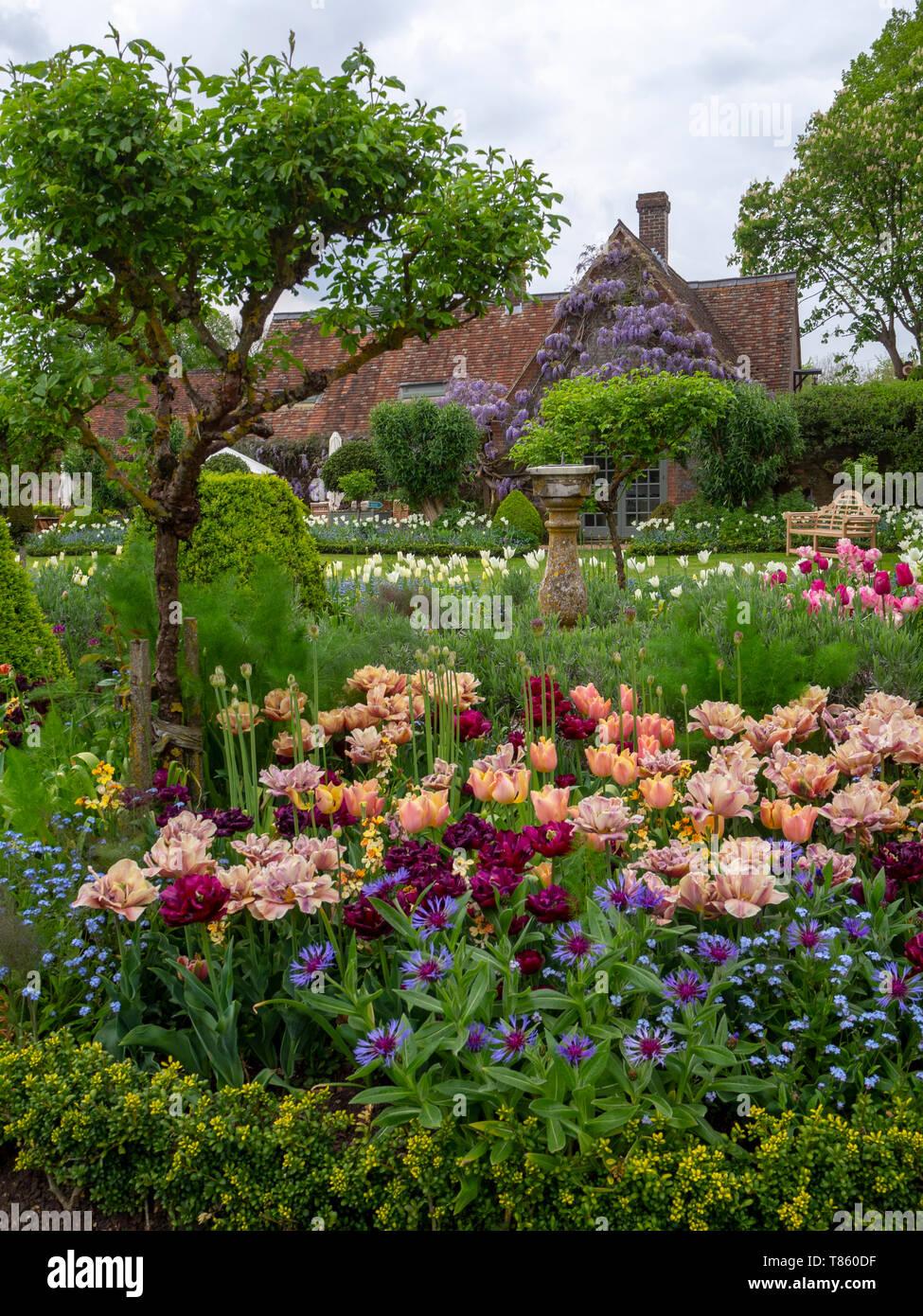 Chenies Manor Gardens ai primi di maggio con la Belle Epoque massa tulipani piantati con Antraciet tulipani e fogliame. Visualizzazione verticale con vecchi edifici. Foto Stock