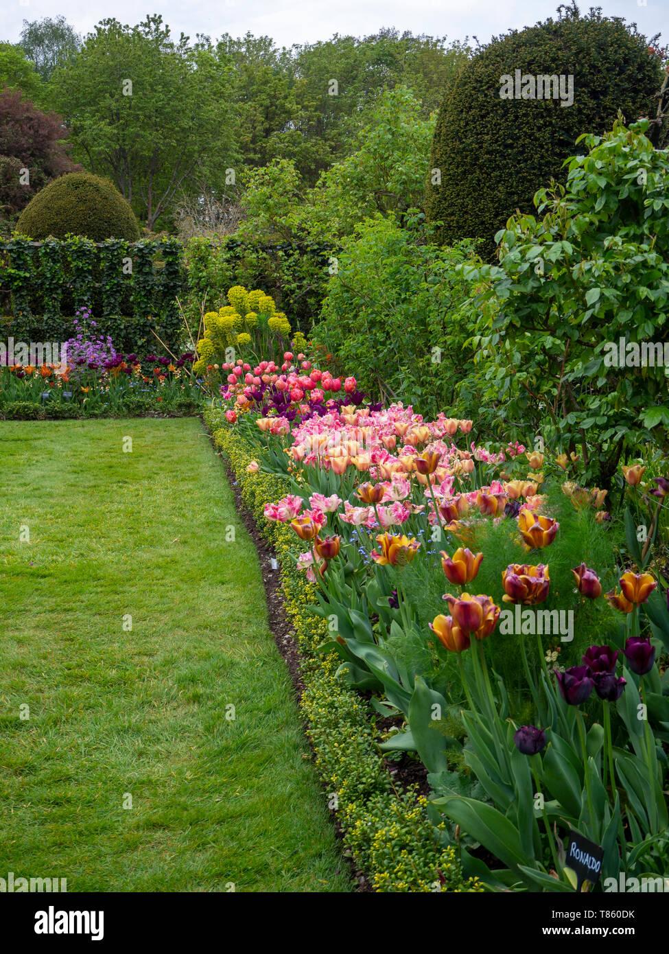 Ritratto di Chenies Manor Gardens tulip border all inizio di maggio con trellis, Euphorbia, topiaria da e sfumature di rosa, arancione e viola i tulipani.. Foto Stock