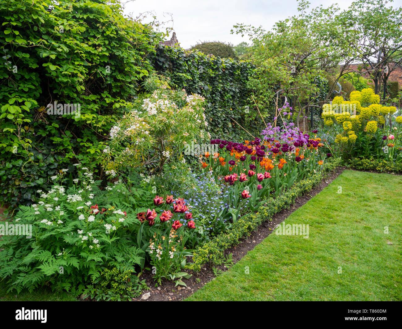 Chenies Manor giardini a prato e confini dello stabilimento ai primi di maggio. Choisya e varietà di tulip dall'akebia ed edera trellis. Foto Stock