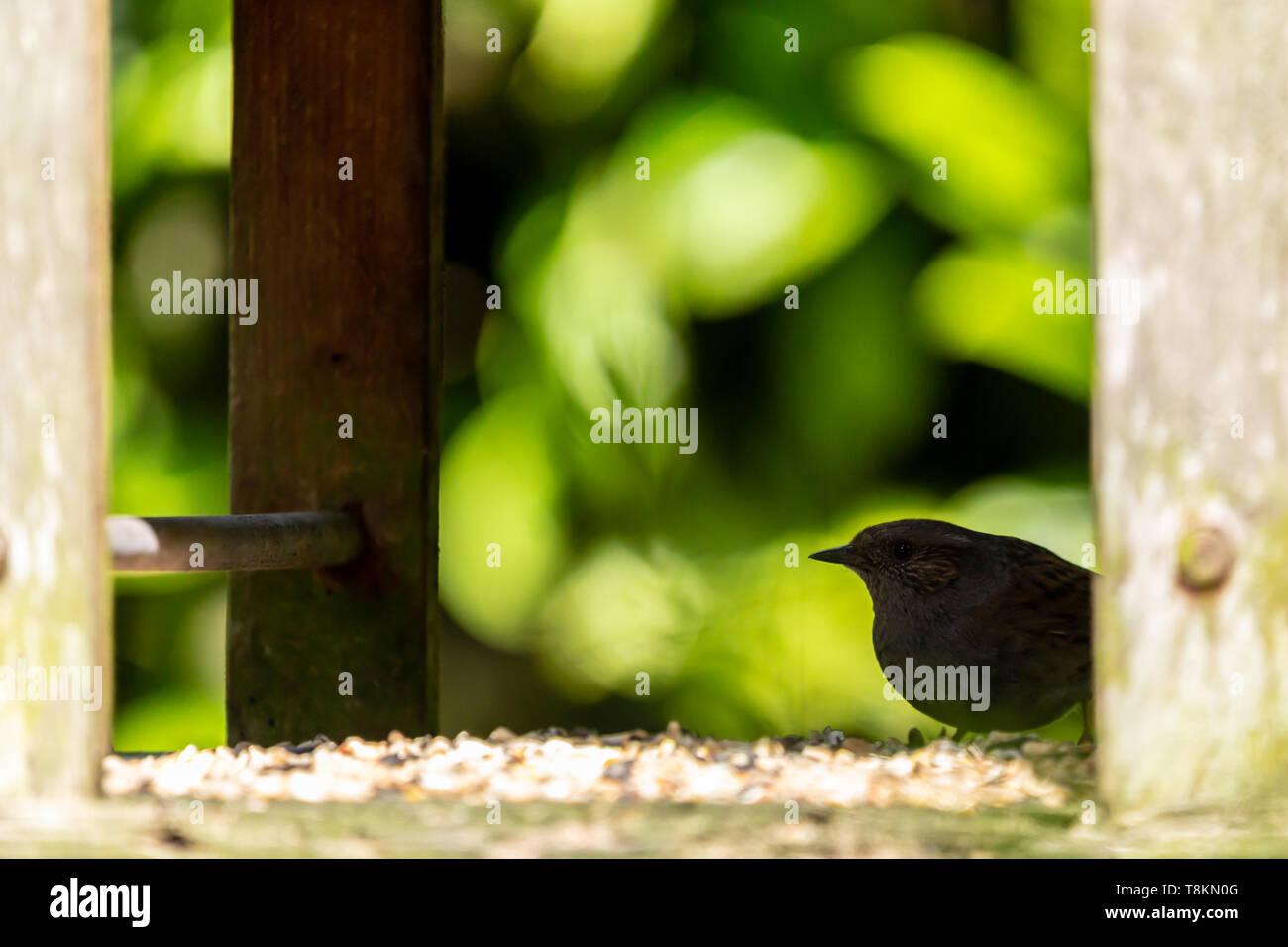 Dunnock (Prunella modularis) appollaiato sul retro di uccelli protetti tabella in silhouette. Immagini Stock