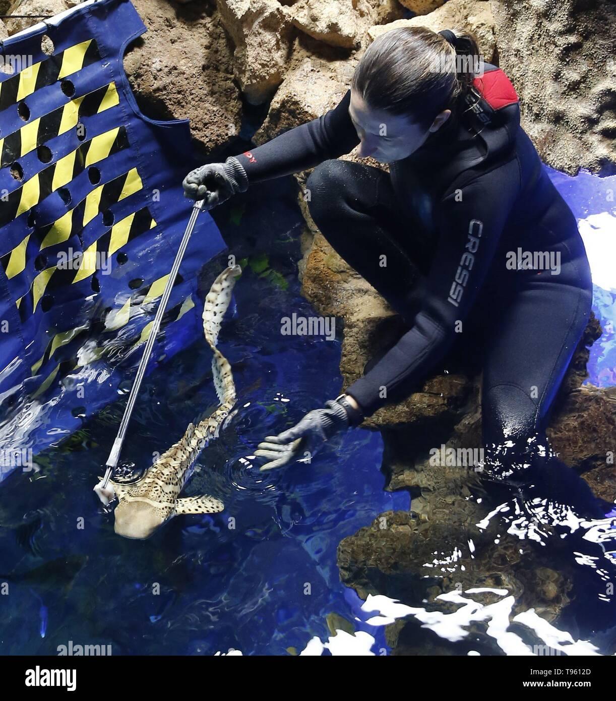 Un dipendente alimenta una zebra shark nel poema del Mar acquario, in Las Palmas de Gran Canaria Isole Canarie Spagna, 17 maggio 2019. Famara e Mino, due dei soli tre squali zebra allevati in cattività in Spagna, stanno cominciando a socializzare con altri animali acquatici per la prima volta durante la sua formazione per raggiungere un punto specifico al fine di ricevere cure veterinarie. Questo singolare gara di squalo è originariamente dal Pacifico e l'Oceano Indiano e il suo più attributo univoco è la totale mancanza di denti, mentre la femmina può razza senza dover essere fecondate da un maschio, ma piuttosto da parthenog Immagini Stock