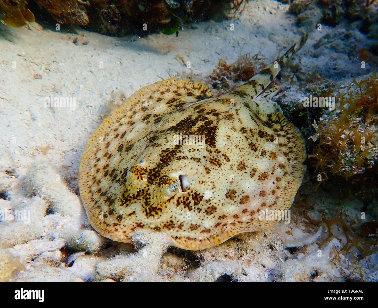 Giallo stingray, Urobatis jamaicensis, all'interno del Belize Barrier Reef, una serie di barriere coralline a cavallo tra la costa del Belize Immagini Stock