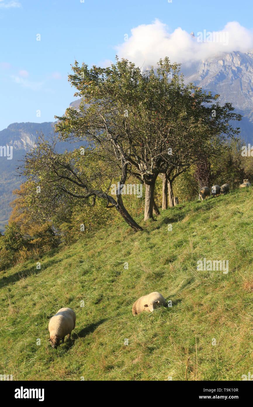 Moutons à la montagne. Immagini Stock