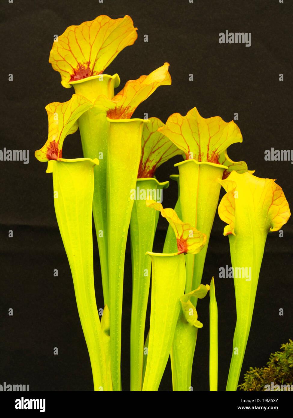 """Tall brocche con venature rosse calotte dei carnivori American pianta brocca, Sarracenia x catesbaei 'Golden Eagle"""" Immagini Stock"""