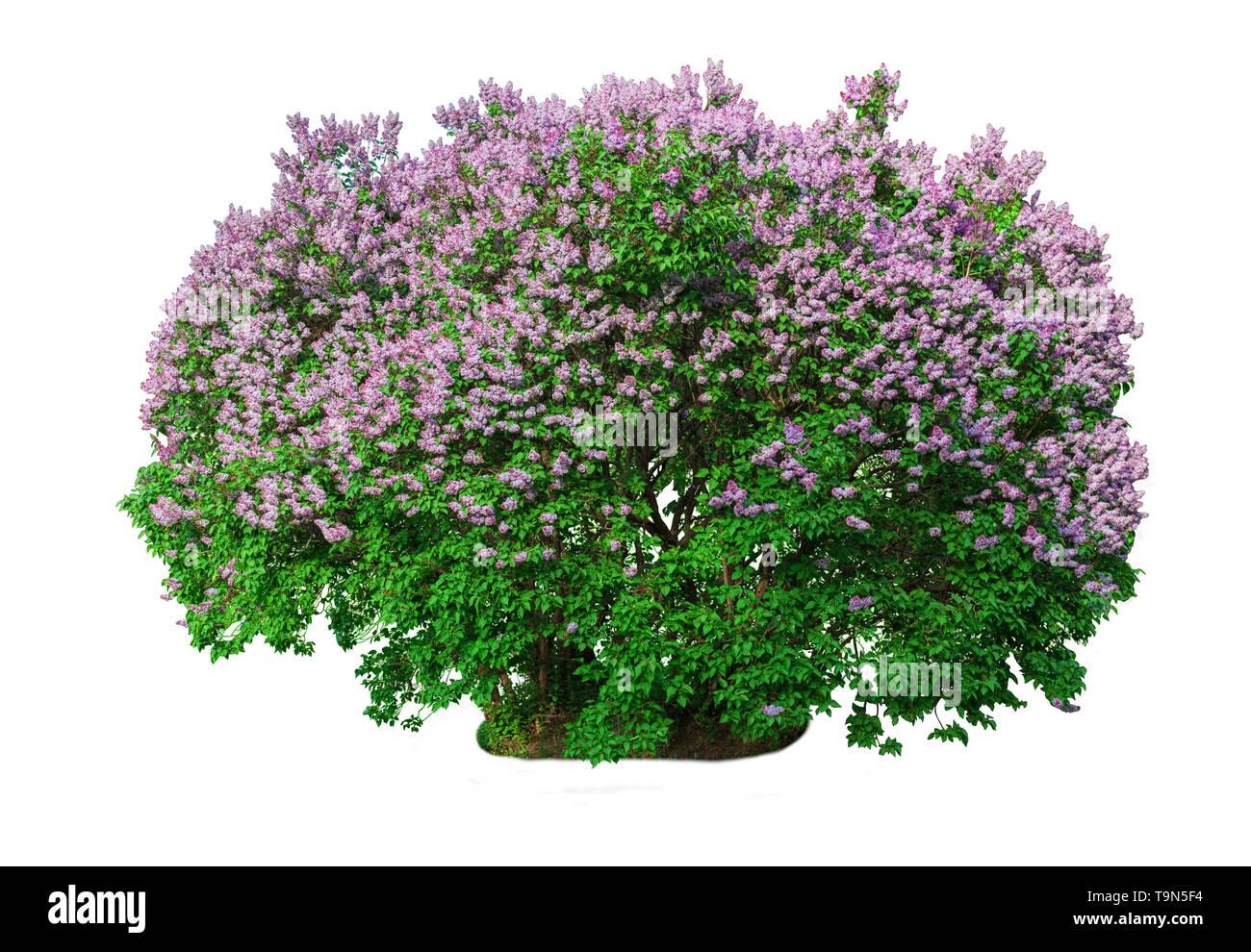Blooming lilac bush isolato su sfondo bianco. Immagini Stock