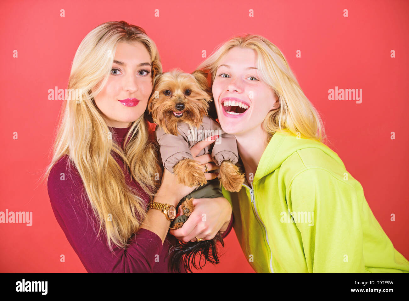 Yorkshire terrier è molto affettuoso cane amorevole che craves attenzione. Simpatico cane da compagnia. Yorkshire Terrier razza ama la socializzazione. Bionda ragazze adorano Immagini Stock