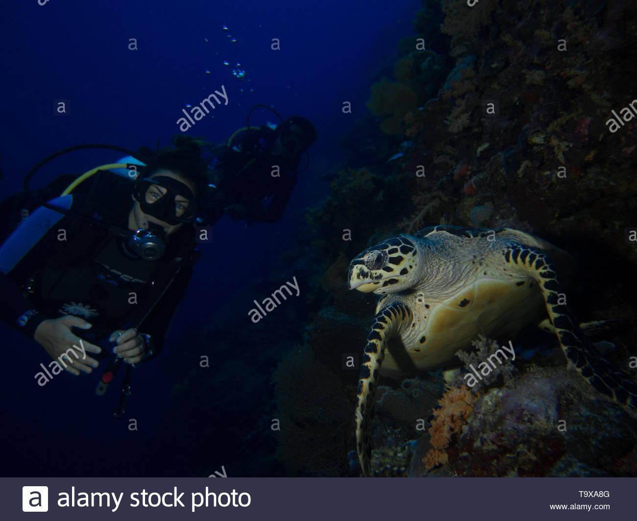 Donna scuba diver (esistente modello di rilascio) e la tartaruga embricata underwater godendo la barriera corallina del Parco Nazionale di Bunaken, Sulawesi, Indonesia Immagini Stock