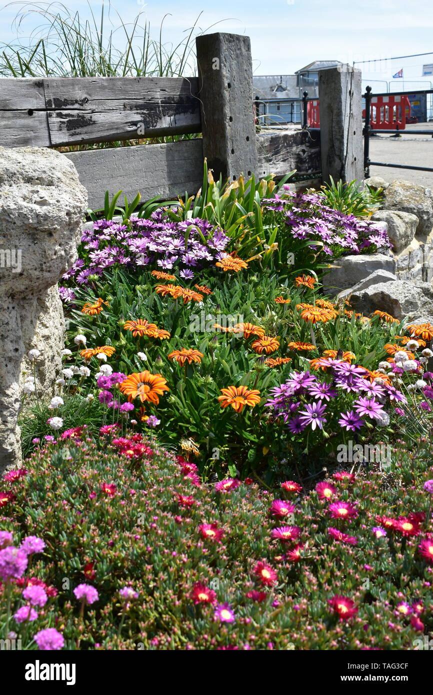 Fiori a Ventnor Esplanade, e giardini invernali, Isle of Wight, Regno Unito. Immagini Stock