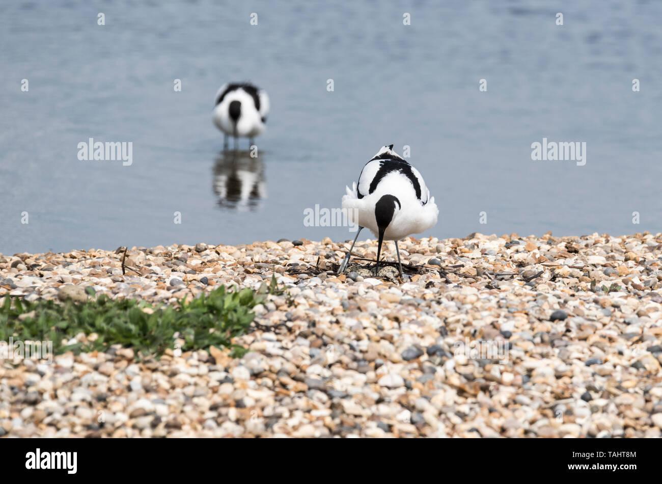 Avocet (Recurvirostra avosetta) circa di sedersi su un nido (uova visibile) Immagini Stock