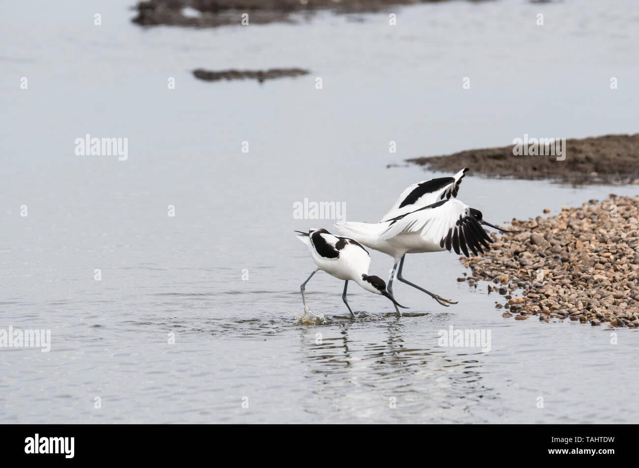 Avocet (Recurvirostra avosetta) mostrante l'aggressione di un altro Avocet Immagini Stock