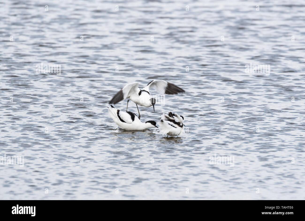 Avocet (Recurvirostra avosetta) mostra aggressione ad altri avocette Immagini Stock