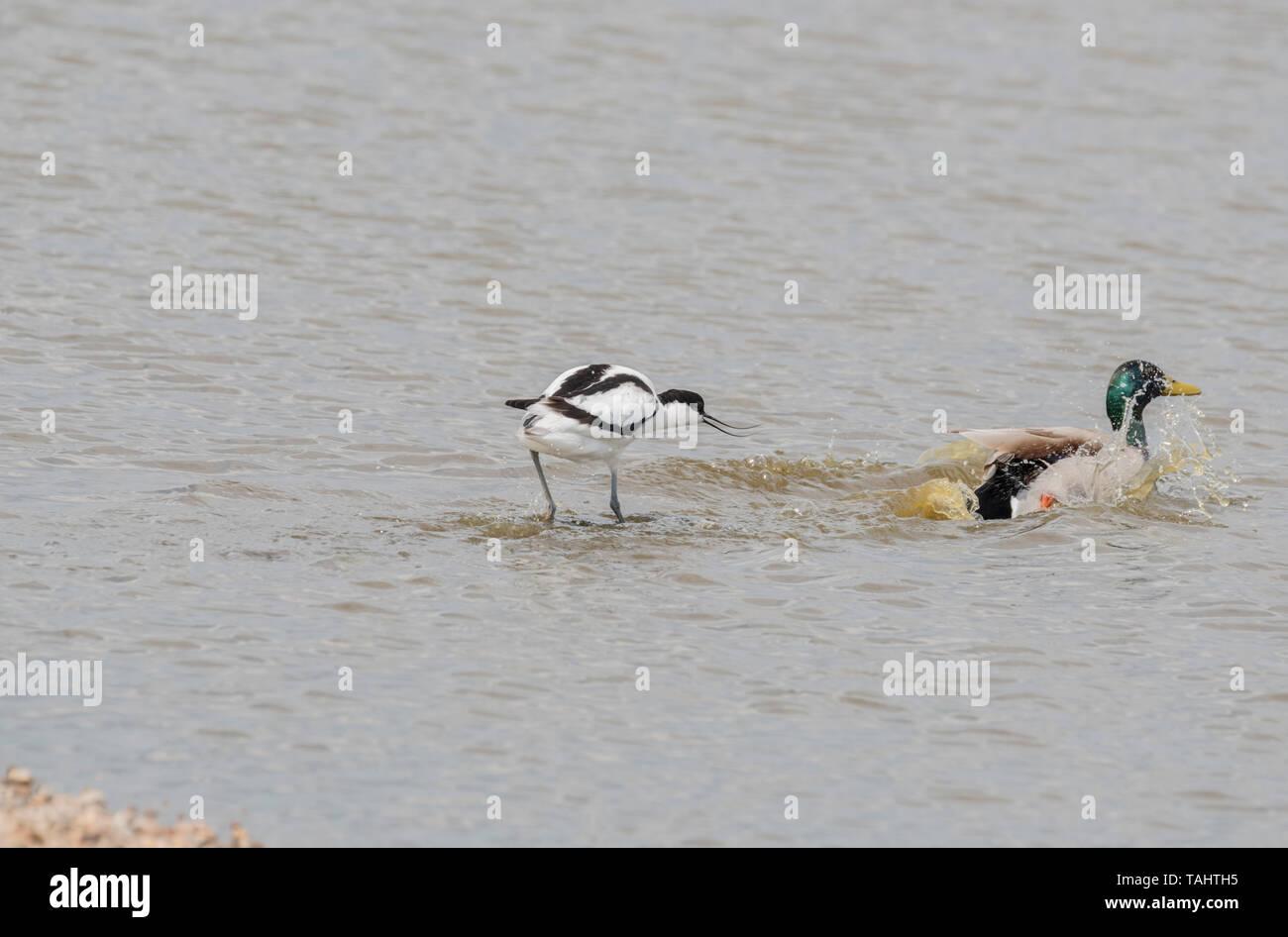 Avocet (Recurvirostra avosetta) caccia fuori un Germano Reale Immagini Stock