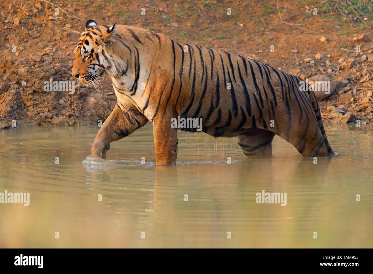 Maschio adulto tigre del Bengala (Panthera tigris tigris) in Tadoba-Andhari Riserva della Tigre, Maharashtra, India. Questo maschio dominante è T-54 o Chota Matka Immagini Stock