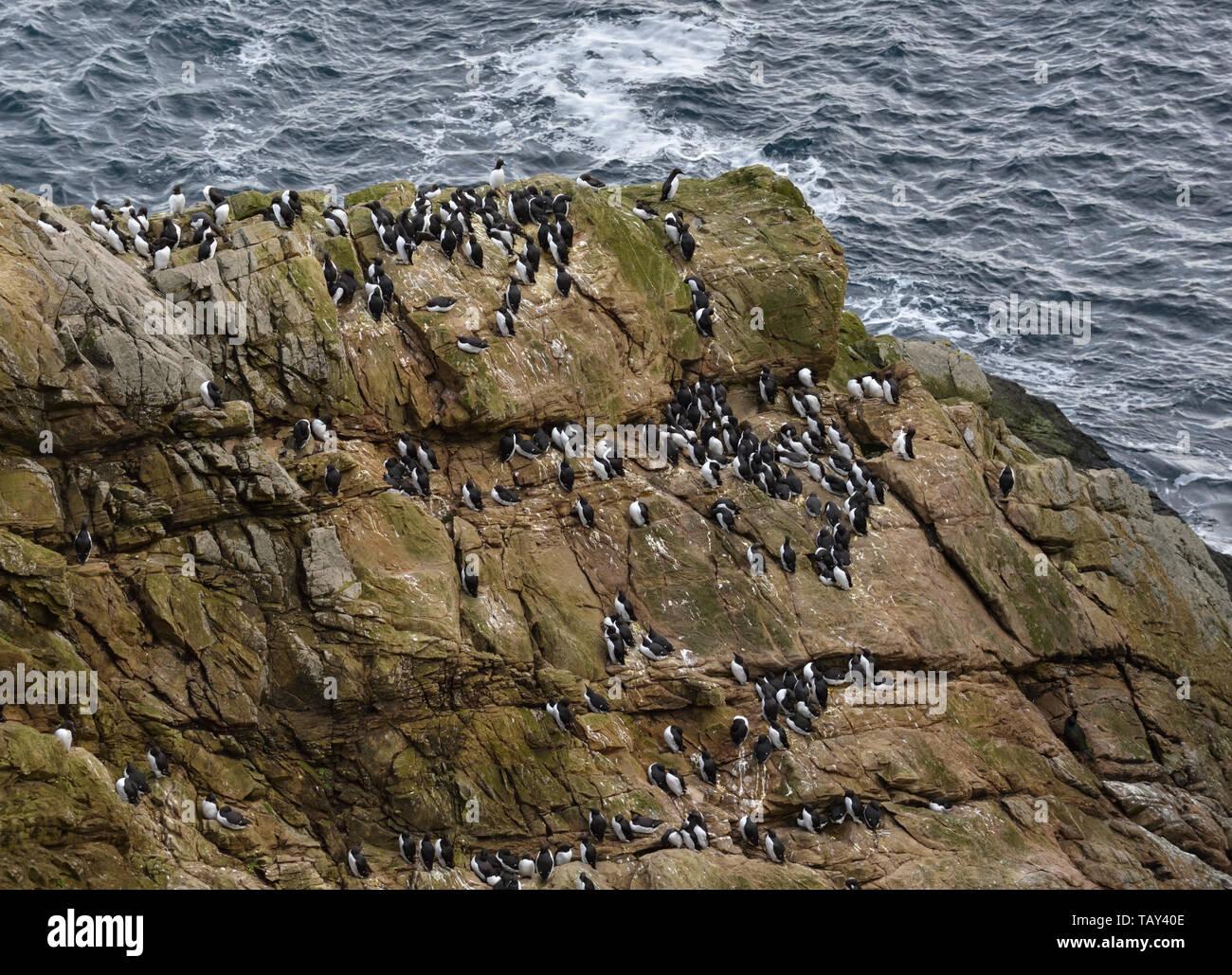 Sumburgh Head, sud continente, Shetland, Scotland, Regno Unito Foto Stock