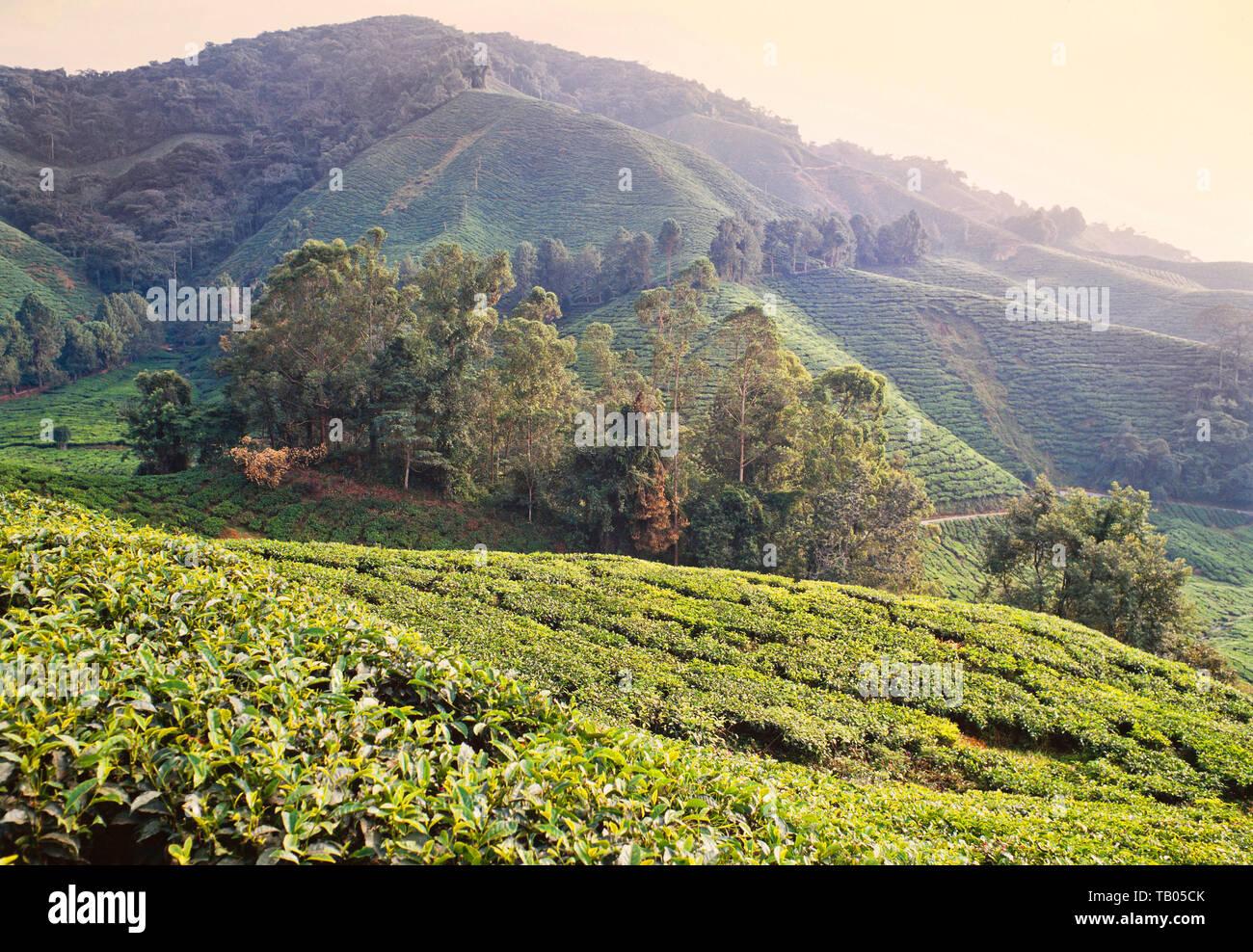Cameron Highlands, Malaysia, piantagione di tè. Immagini Stock
