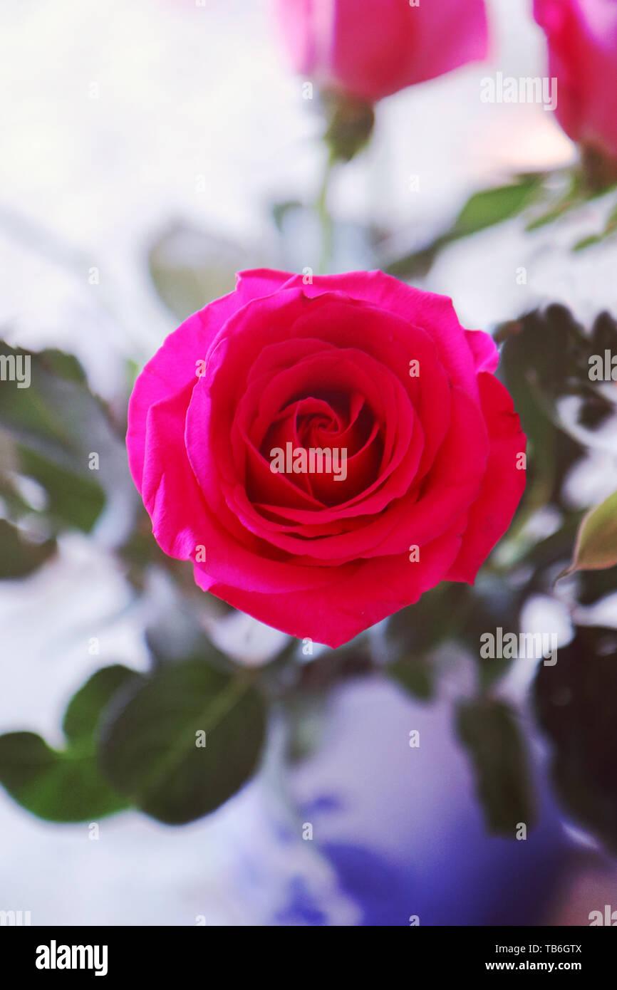 Rosa viola close up con sfondo sfocato Foto Stock