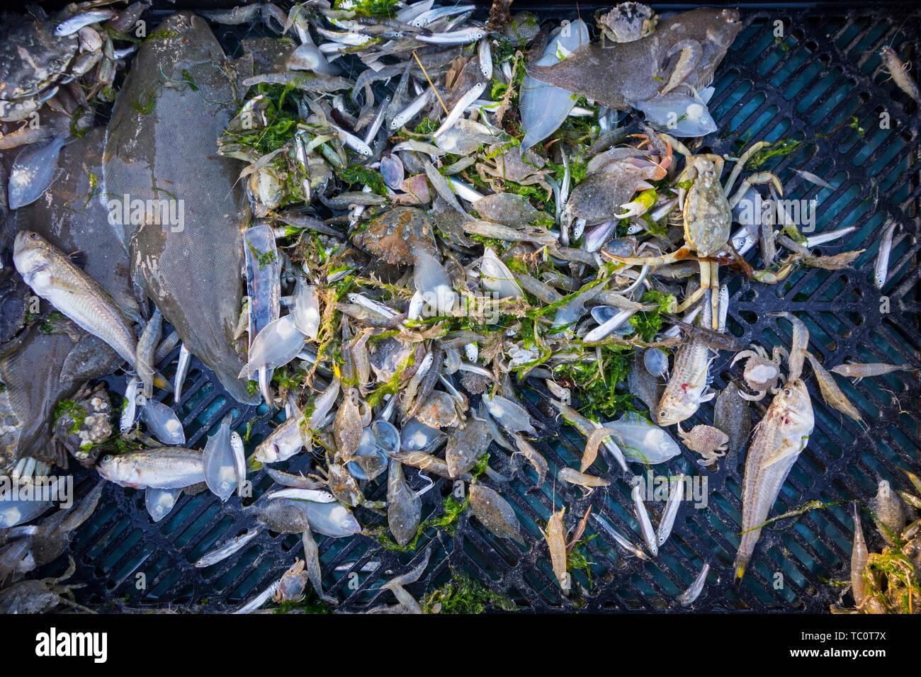 Shrimper le catture di pesca di gamberi da trascinare net sulla spiaggia che mostra i gamberetti, i granchi e pesci come il sole, lesser weever, sgombri pescati lungo la costa del Mare del Nord Immagini Stock