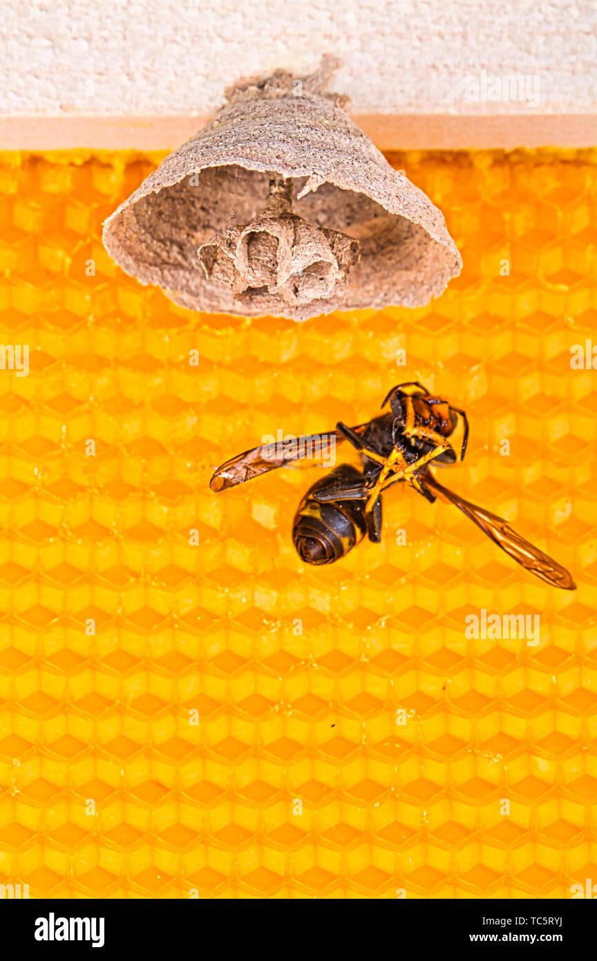 4290c5e3a8 Foto macro di Asian calabroni iniziare del nido su una nuova cornice gialla  di alveare con