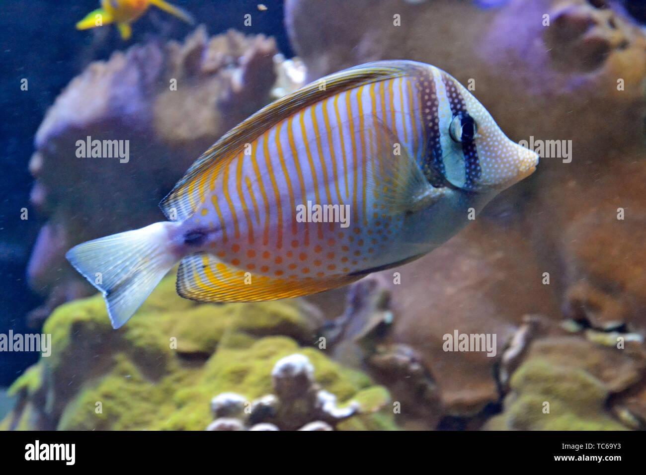 Colorati pesci tropicali nuotare tra i coralli in London Zoo Acquario, ZSL London Zoo di Londra, Regno Unito Immagini Stock
