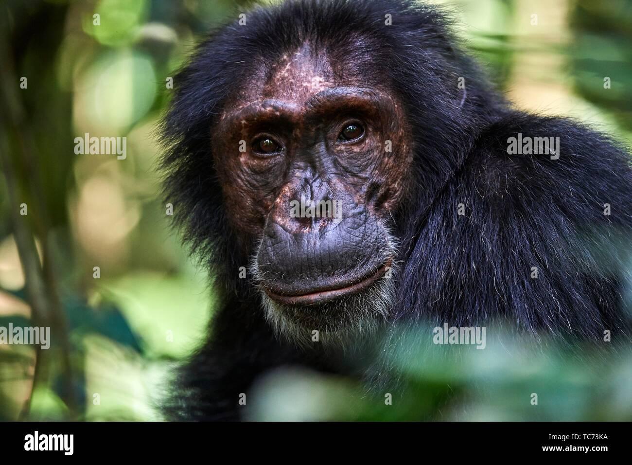 Uno scimpanzé ritratto maschile (Pan troglodytes schweinfurthii) Kibale National Park, Uganda. Immagini Stock