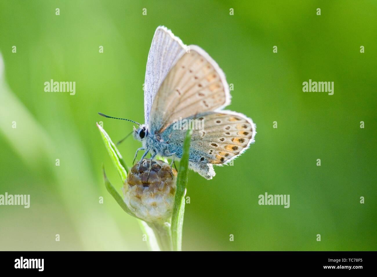 Amanda è blu, Polyommatus amandus. Distinti blue butterfly che ha lunules arancione sulla hindwing superiore, ma mancante sul forewing. Butterfly è polvere Immagini Stock