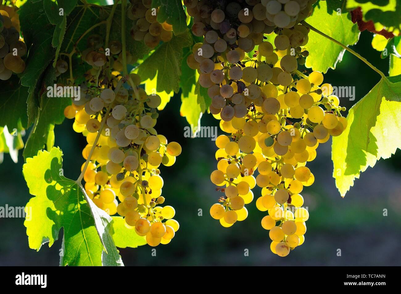 Grappolo di uva. La denominazione di origine di Ribera del Guadiana. Tierra de Barros. Provincia di Badajoz. Extremadura. Spagna Immagini Stock