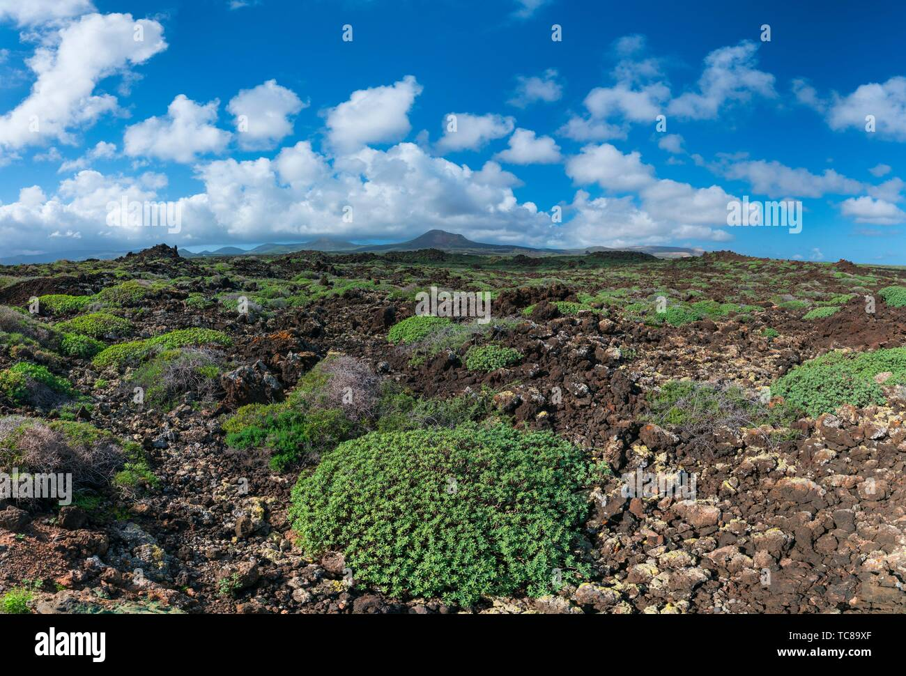 Tabaibas, Malpais de la Corona, Orzola, Lanzarote, Isole Canarie, Spagna, Europa. Immagini Stock