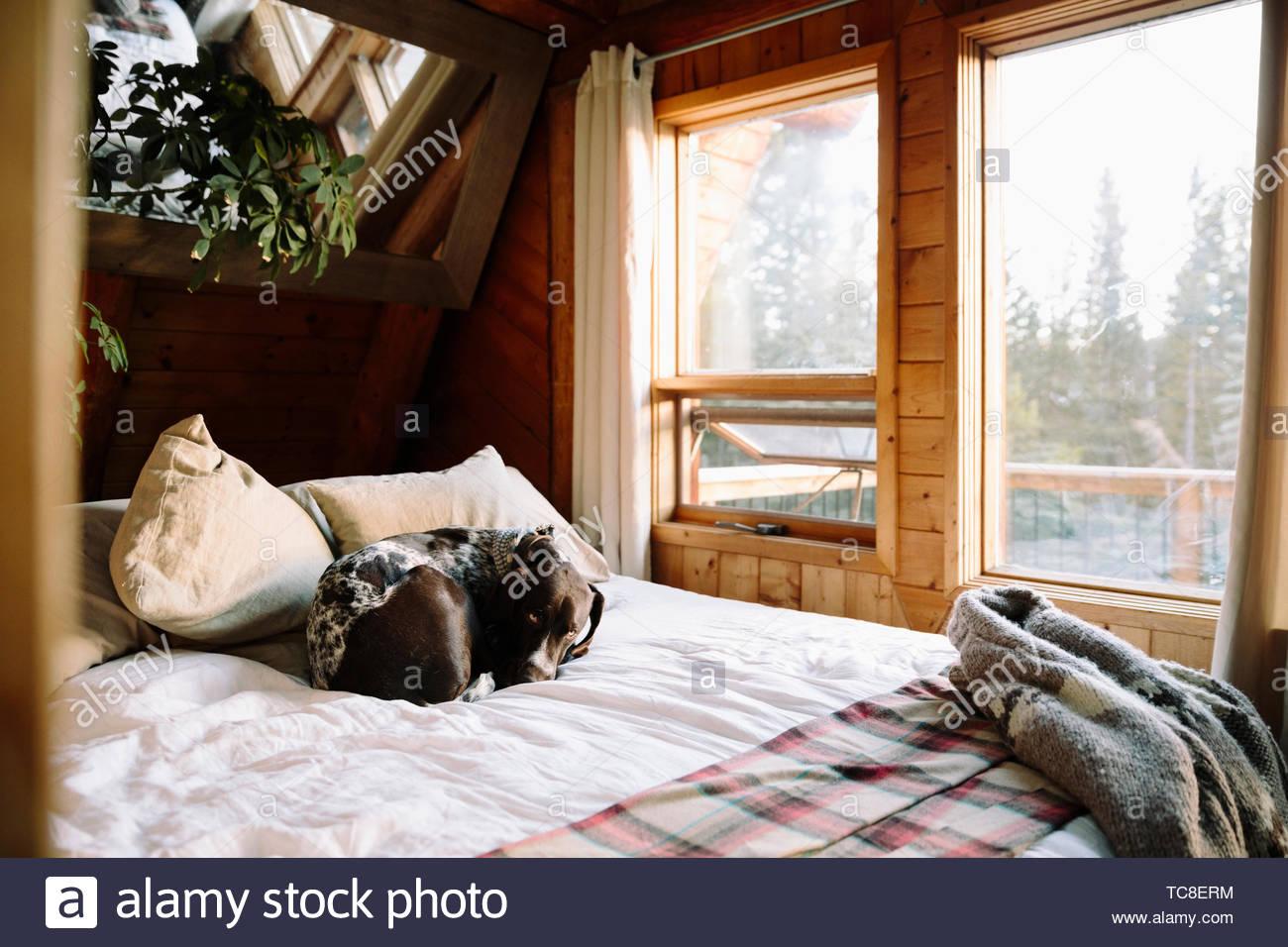 Cane di dormire sul letto di cabina Immagini Stock