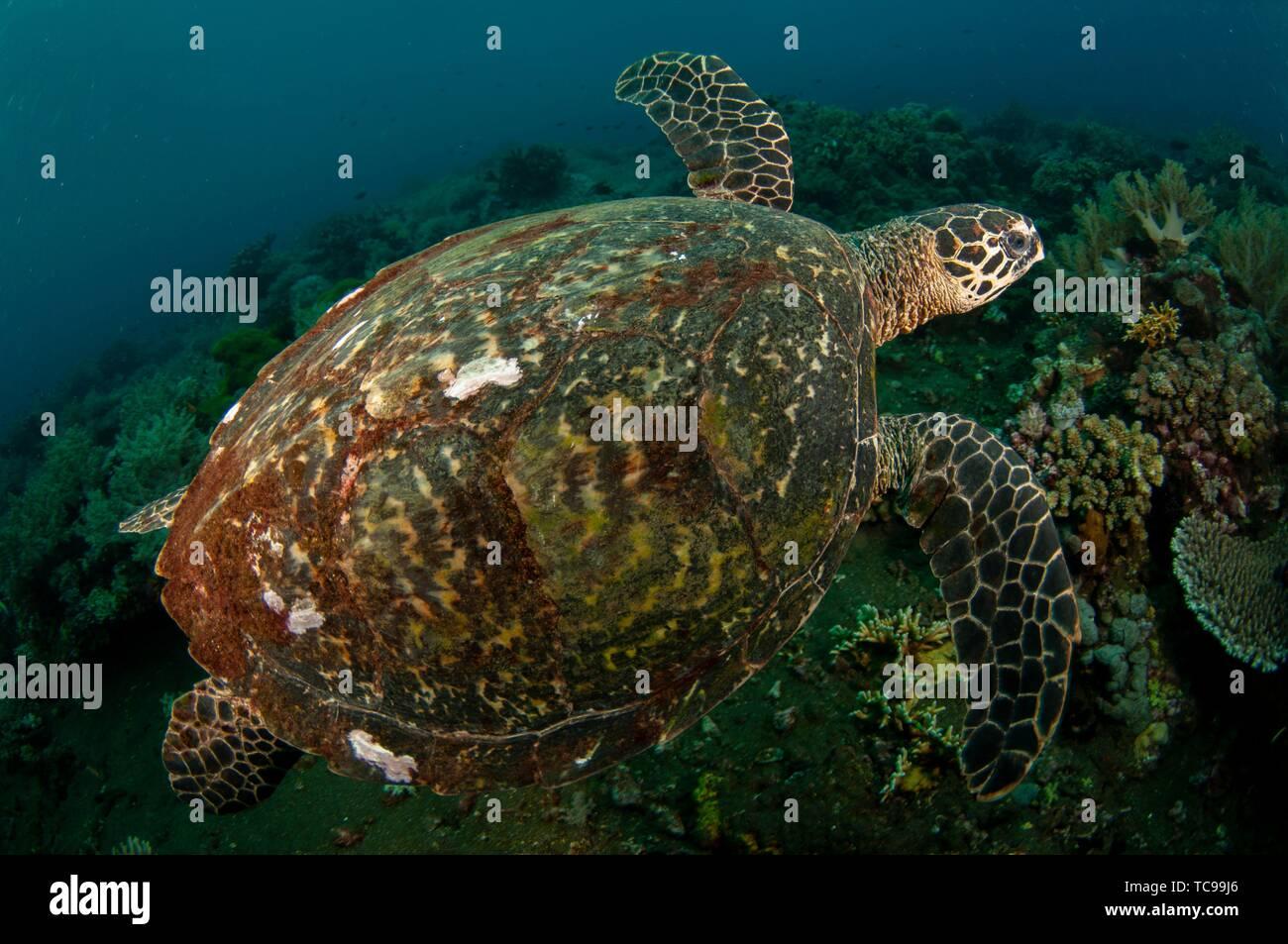 Tartaruga embricata (Eretmochelys imbricata) nuoto, Tanjung Kelapa sito di immersione, Manuk Isola, Banda Mare, Indonesia. Immagini Stock