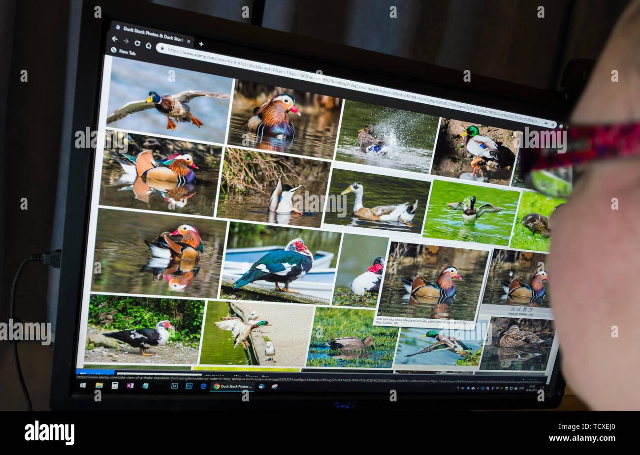 Donna seduta a un monitor di un computer navigando attraverso le immagini della fauna selvatica su una fotografia stock sito web. Immagini Stock