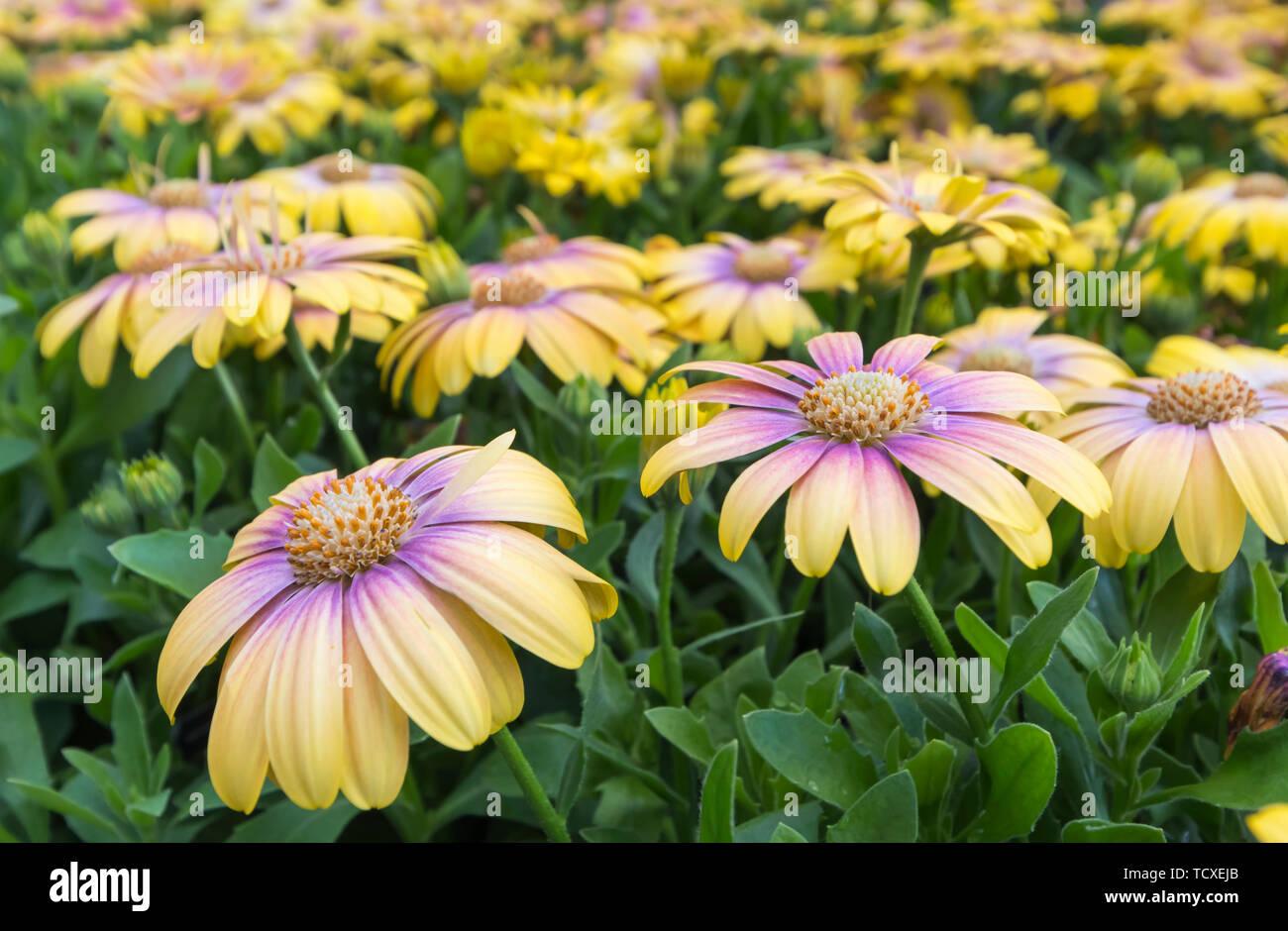"""Osteospermum serenità arrossendo bellezza """"Balostush' (da serenità serie) fiori in estate nel Regno Unito. Immagini Stock"""