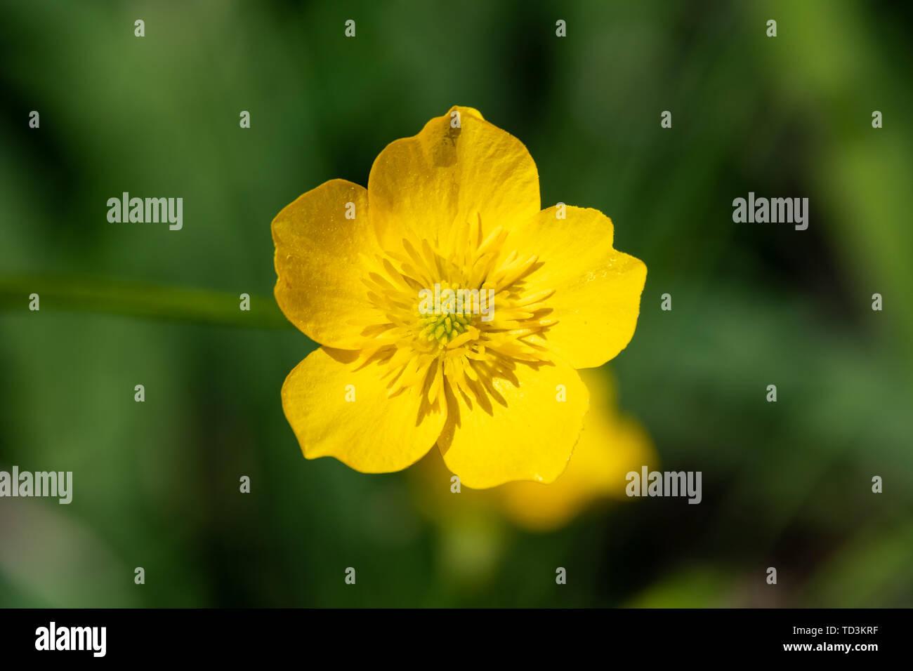 Fiori Gialli Di Montagna.Fiore Giallo Di Montagna Ranuncolo Ranunculus Montanus Fiore