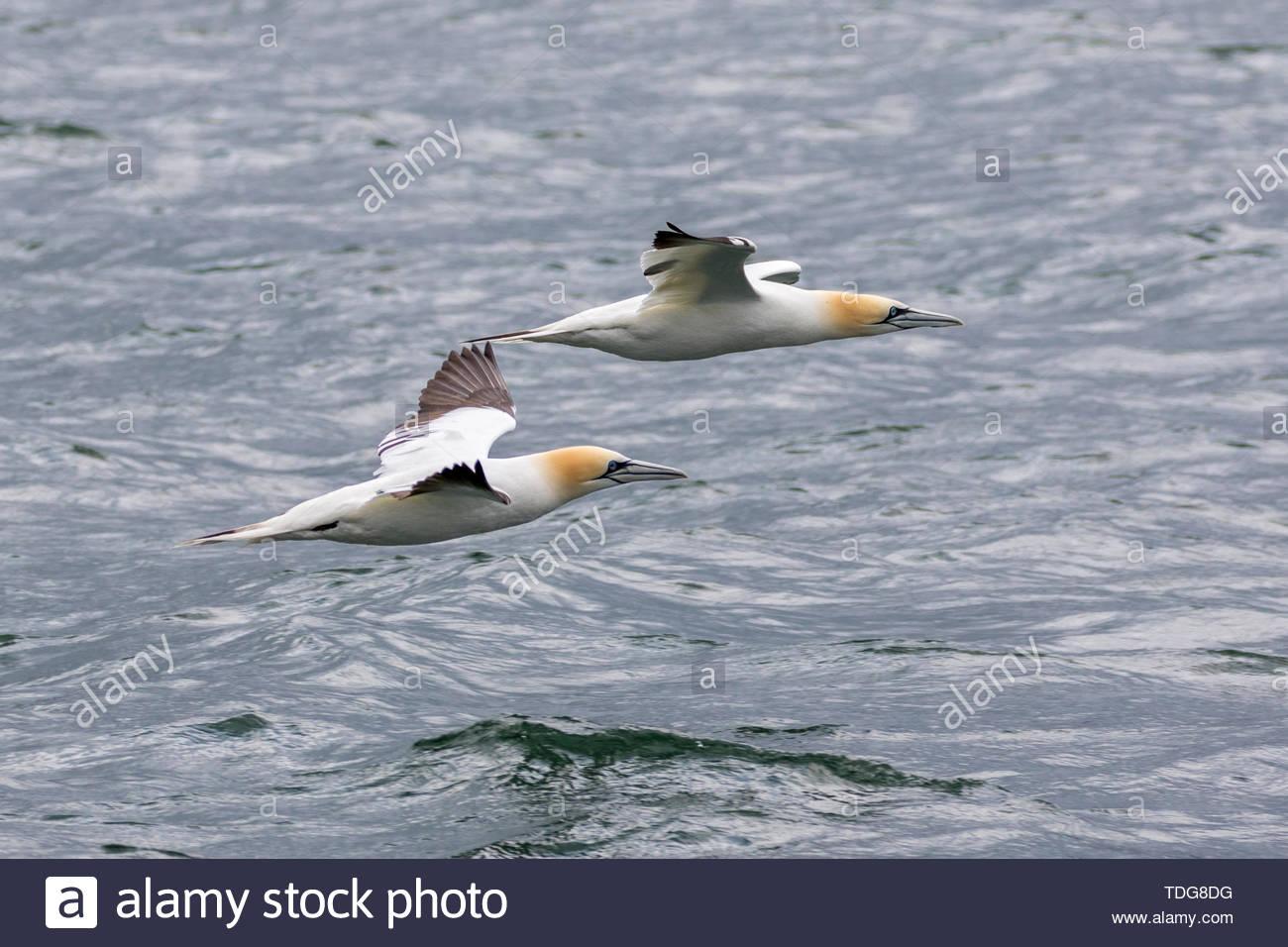 Una coppia di (Nord) sule battenti appena al di sopra del mare a Bempton, East Yorkshire, Regno Unito Foto Stock