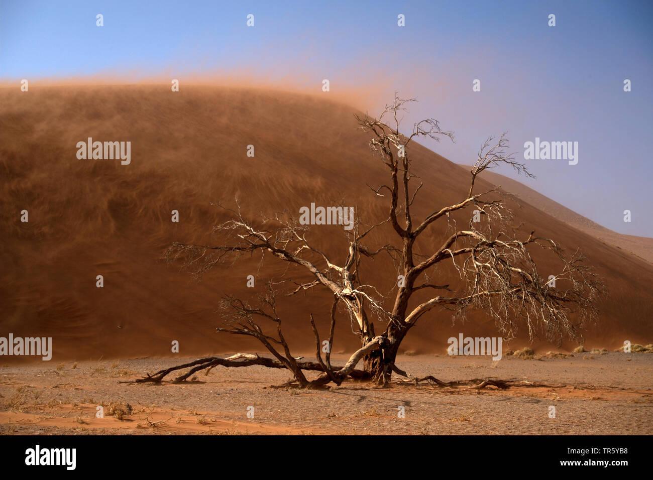 Camel thorn, giraffe thorn (Acacia erioloba), albero morto nella parte anteriore di una duna di sabbia, Namibia, Sossusvlei, Namib Naukluft National Park Foto Stock