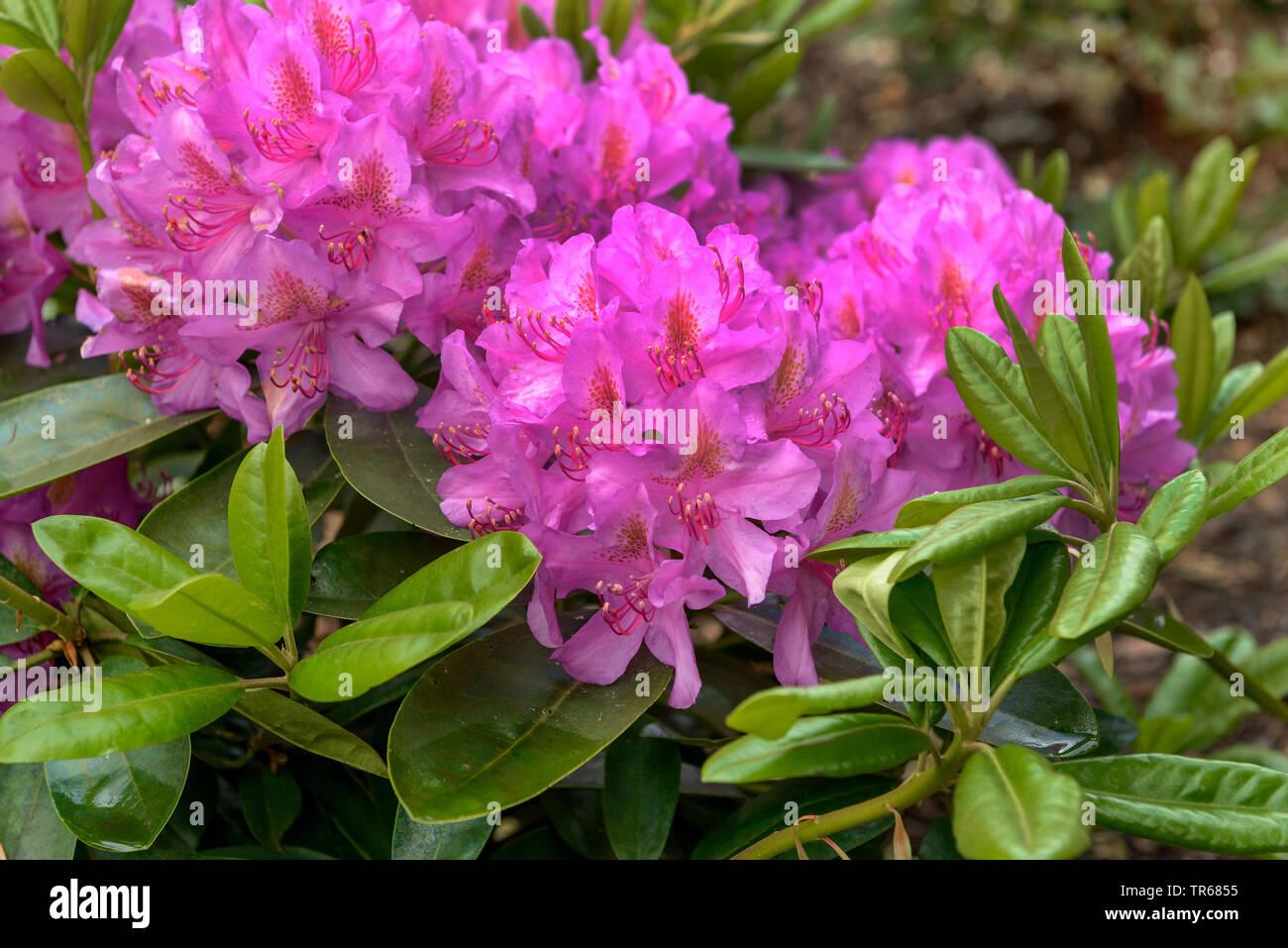 "Rhododendron Catawba Catawba, Rose Bay (Rhododendron 'Rosa viola sogno"", rododendro rosa sogno viola, Rhododendron catawbiense), fioritura, cultivar rosa sogno viola Immagini Stock"