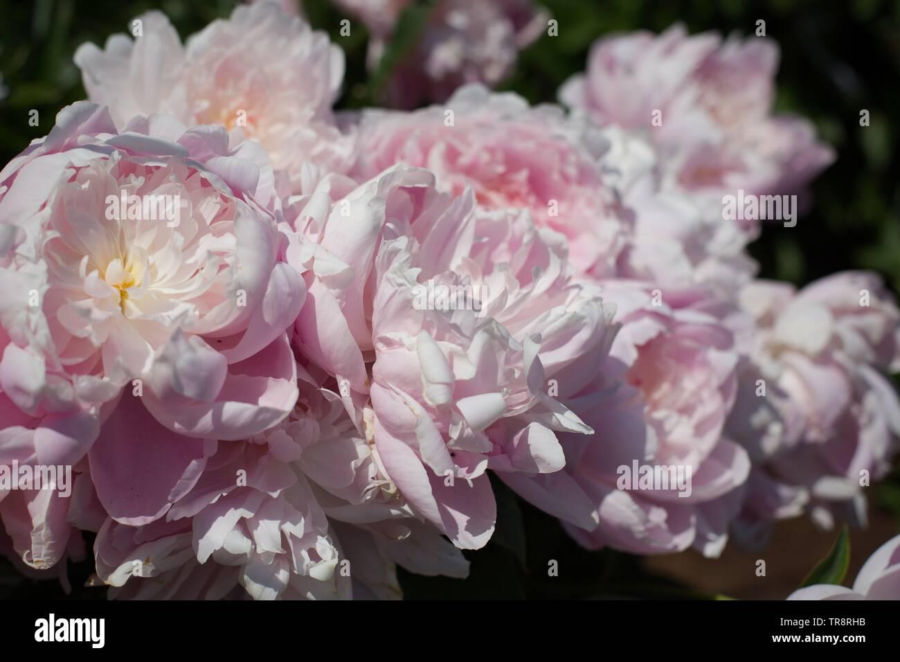 Peonia Sig.ra FDR a Adelman Peonia Giardini in Salem, Oregon, Stati Uniti d'America. Immagini Stock