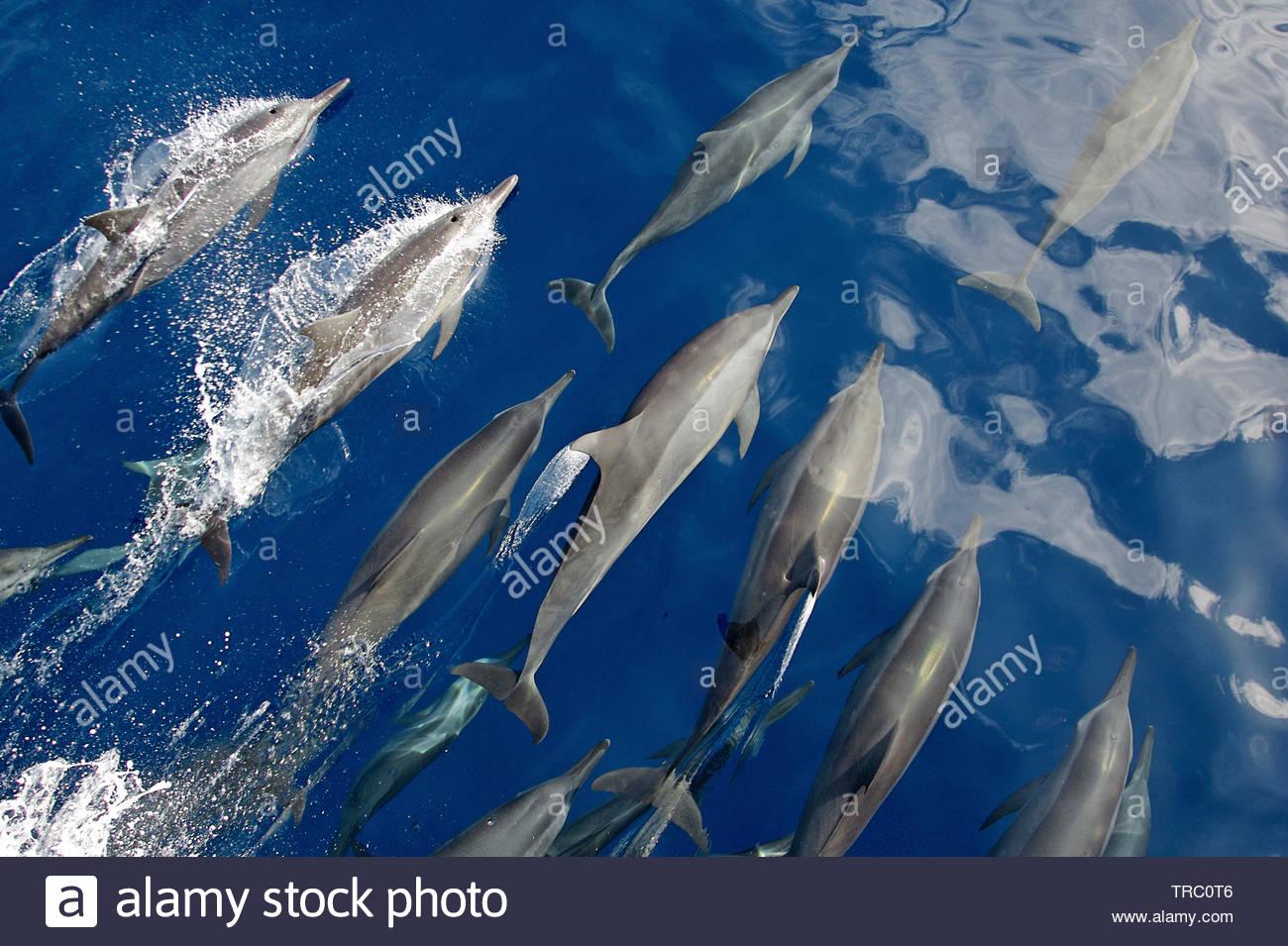 Delfini comuni (Delphinus delphis), gruppo in corrispondenza di una superficie, isola Pico, Azzorre, Portogallo Immagini Stock