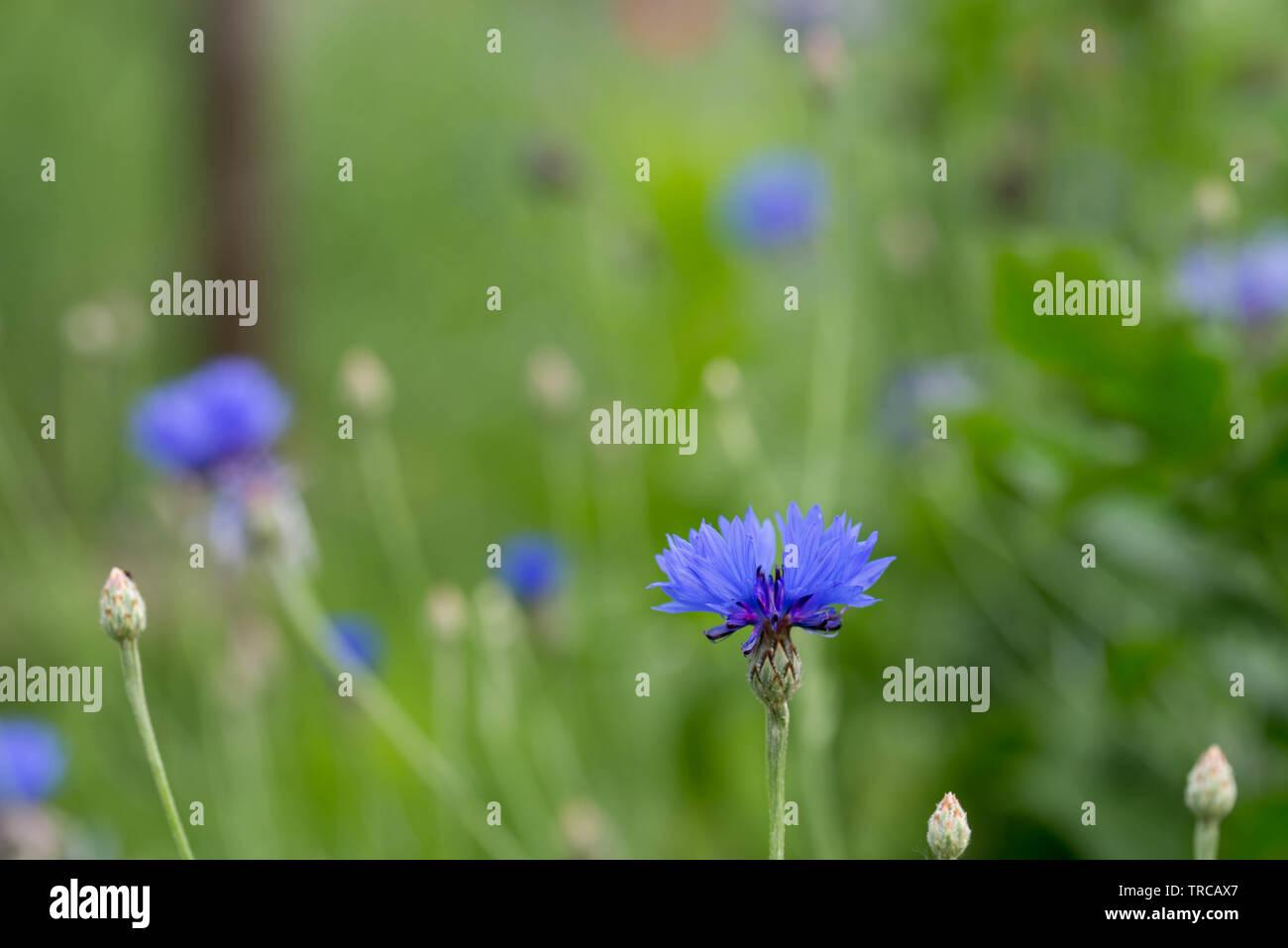 Centaurea cyanus, Fiordaliso, laurea pulsante fiori blu in Prato Immagini Stock