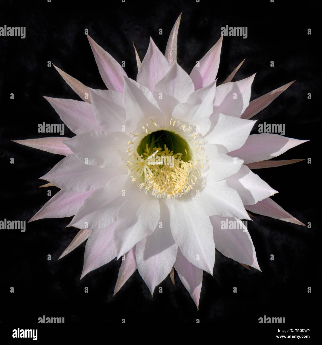 Un unico incredibile bianco e rosa fioritura notturna chinopsis cactus flower centrato su uno sfondo nero Immagini Stock
