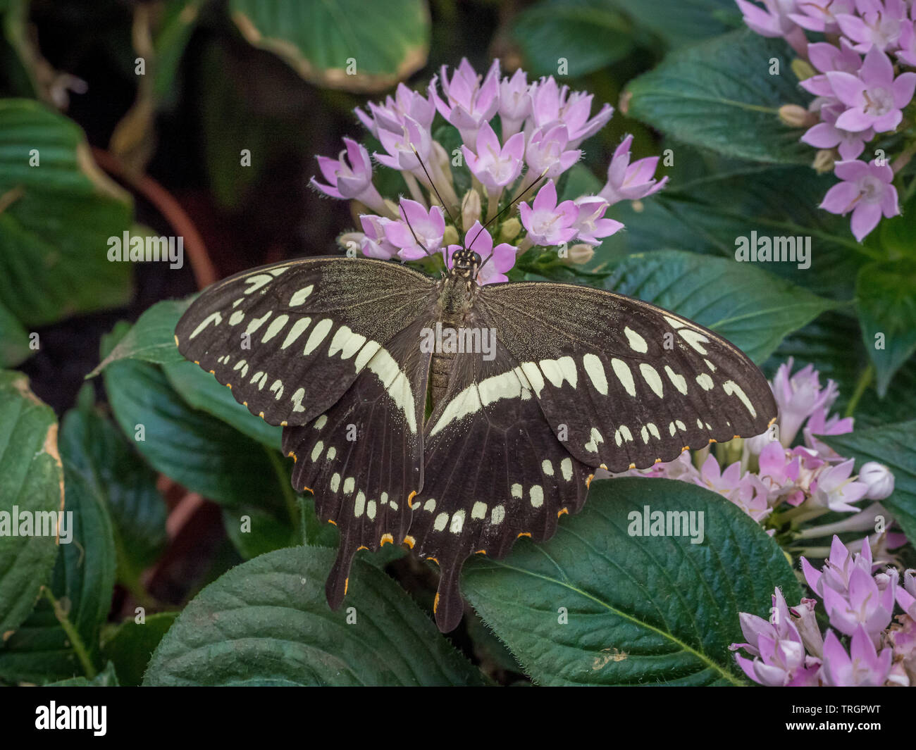 Papilio Demoleus Butterfly Immagini Stock