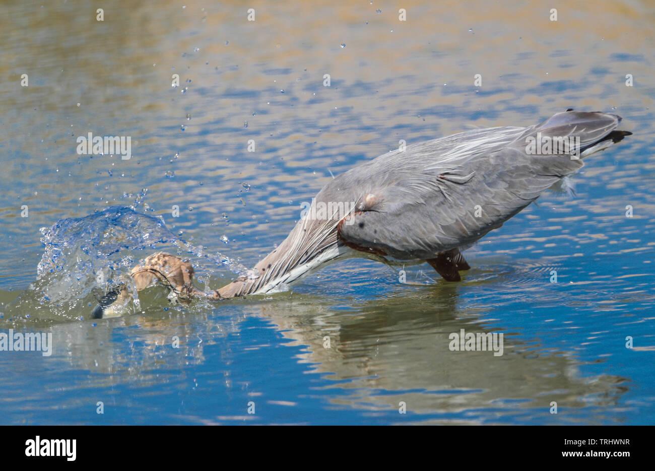 Il canto di un uccello chiamato airone cenerino, Ardea cinerea, ricerche per il cibo in acqua salata dal mare verso la Kino Viejo estuario. L'airone cenerino o airón è una specie di uccello della famiglia ardeidi di Eurasia e Africa, una snella e grandi uccelli acquatici con collo lungo e gambe, principalmente con il piumaggio grigio. Abita i fiumi, laghi e tutti i tipi di acqua dolce e zone umide salmastre. (Foto: Luis Gutierrez / NortePhoto) Onu ave llamada Garza gris, Ardea cinerea, busca alimento en el agua salada proveniente del mar hacia el estero de Kino Viejo. La garza  reale o airón es una especie de ave pelecaniforme Immagini Stock