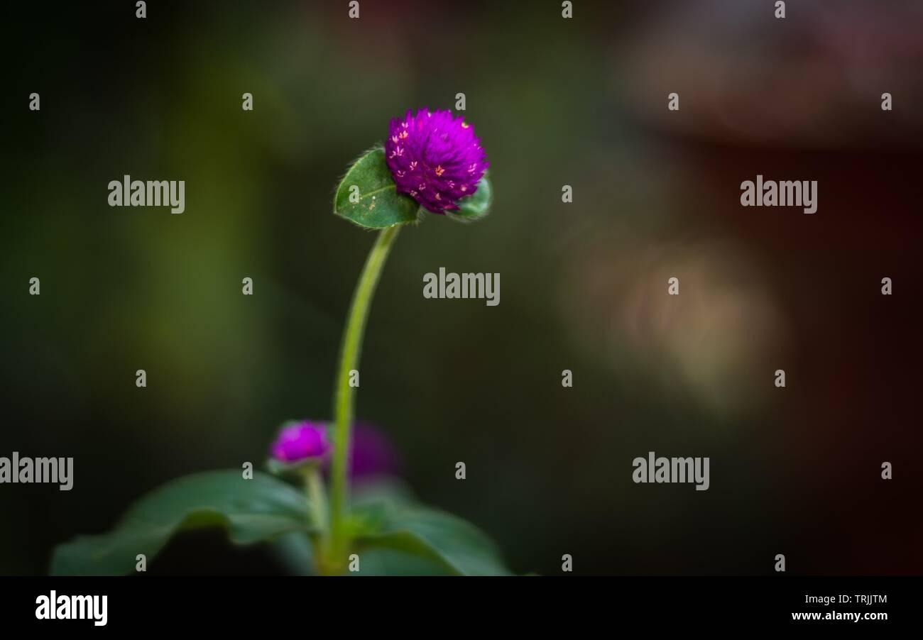 Il Kerala, India - 26 Maggio 2019: Gomphrena globosa, comunemente noto come globe amaranto, makhmali e vadamalli Immagini Stock