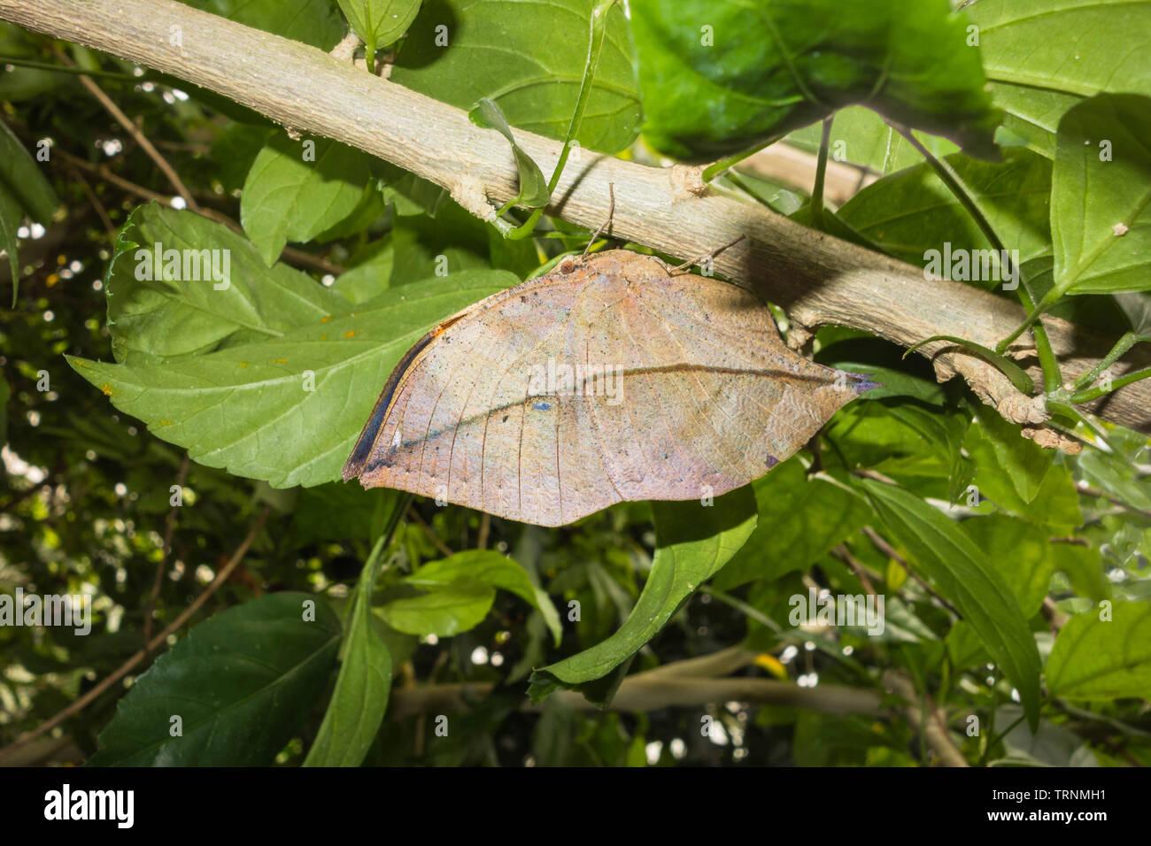 Indian Oakleaf Butterfly (Kallima inachus) che assomiglia ad una foglia morta perchched sulla vite, lo Zoo di Chester Cheshire England Regno Unito. maggio 2019 Immagini Stock