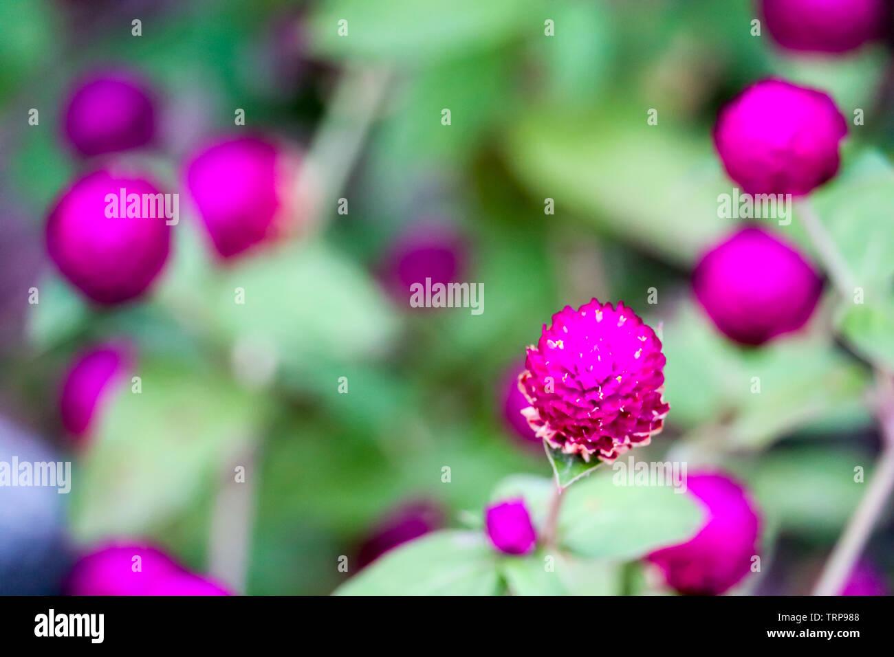 Gomphrena globosa L vantaggio, i fiori e gli alberi sono un dolce, amaro, è deliberatamente un farmaco che agisce sui polmoni e fegato, utilizzato come un fegato ri Immagini Stock