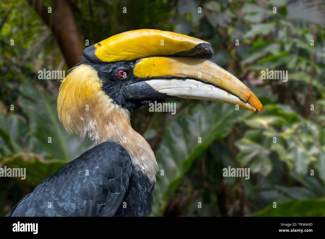 Grande hornbill / Great Indian hornbill / grande pied hornbill (Buceros simum) nativa per il subcontinente indiano e del sud-est asiatico Immagini Stock