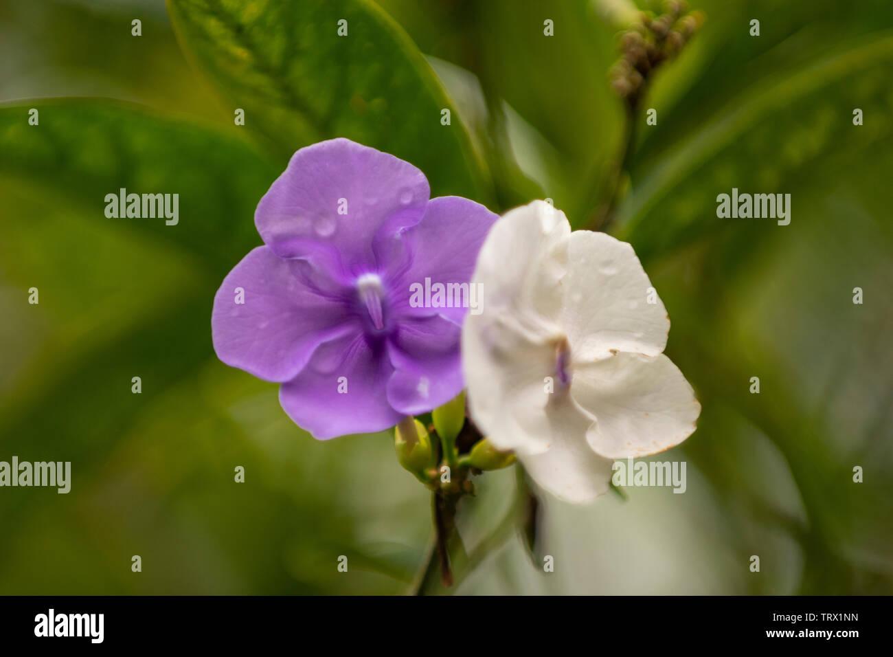Una coppia di fiori, lo scopo e il bianco, rPana'ewa Zoo Foresta Pluviale Immagini Stock