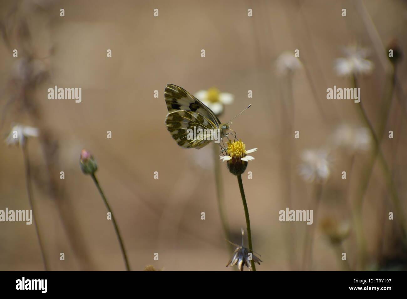 Bel bagno bianco (pontia daplidice) farfalla. Immagini Stock