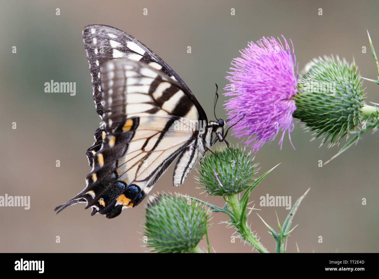 Coda forcuta farfalla vista ravvicinata su una Bull Thistle Foto Stock